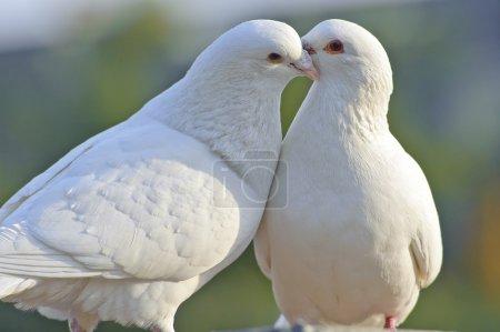 Photo pour Deux colombes blanches aimantes - image libre de droit
