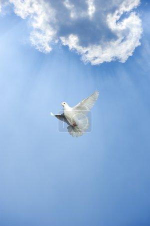 Photo pour Colombe blanche en vol libre sous le ciel bleu - image libre de droit