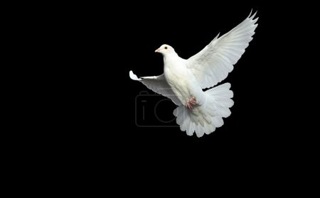 White dove in free flight with isolated black back...