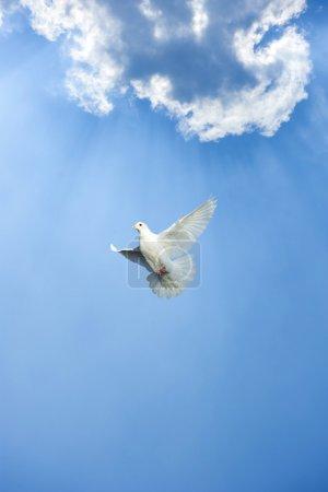 Photo pour Blanche colombe en vol libre sous le ciel bleu - image libre de droit