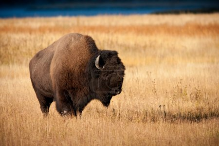 Bison during fall in Yellowstone national park...