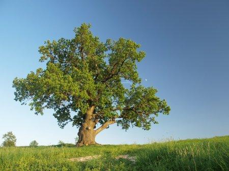 Photo pour Le grand chêne solitaire sur une prairie verte contre le ciel bleu avec la petite lune . - image libre de droit