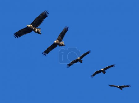 Montage of wedge-tailed eagles in full flight on b...