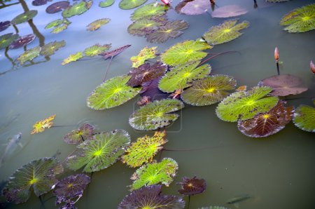 Photo for Colourful lily pad's on a pond - Royalty Free Image