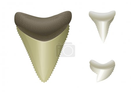 Shark's teeth | Megalodon - fossil, Great White, Tiger