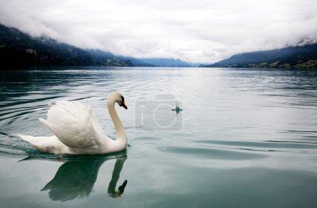 Photo pour Cygne blanc dans le lac brumeux - image libre de droit