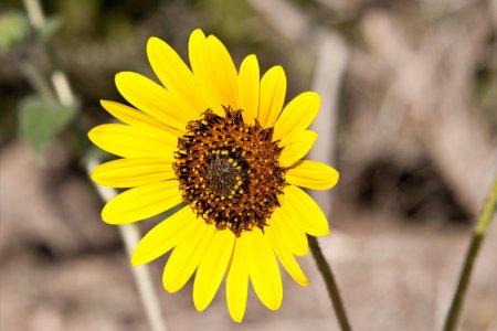 Sunflower Helianthus Laetiflorus New Mexico USA