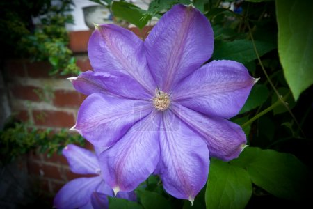 Photo for Wide angle shot of a Purple Clematis flower on the side of a building. - Royalty Free Image