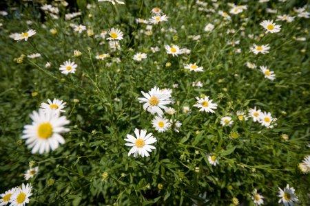 Vollrahmen Feld von Gänseblümchen Blumen