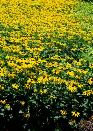 Full Frame Field of Brown Black Eyed Susan Flowers Yellow