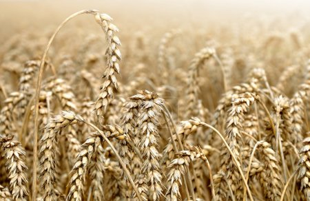 Photo for Golden wheat field closeup - Royalty Free Image