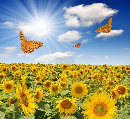 Summer sun over the sunflower field with butterfli...