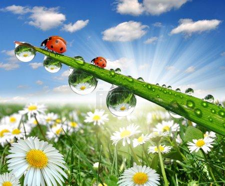 Dew and ladybug