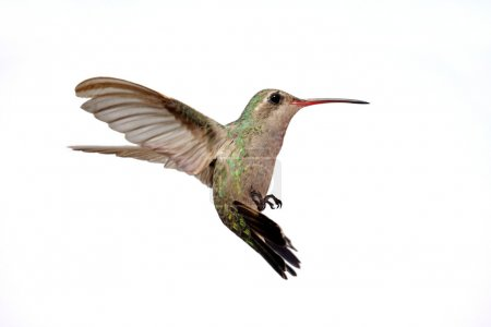 Isolated Broad-billed Hummingbird (Cynanthus latirostris)