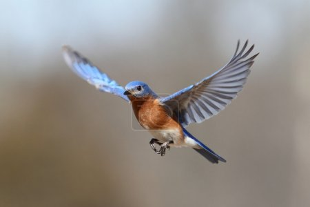 Male Eastern Bluebird (Sialia sialis) in flight...