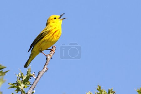 Yellow Warbler (Dendroica petechia) Singing