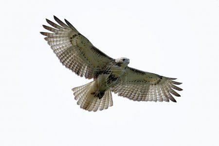 Red-tailed Hawk Isolated