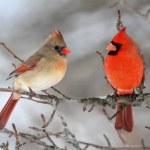 Pair of Northern Cardinal (cardinalis cardinalis) ...