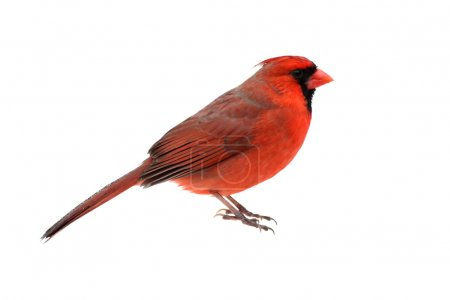 Male Northern Cardinal (Cardinalis) - Isolated on ...