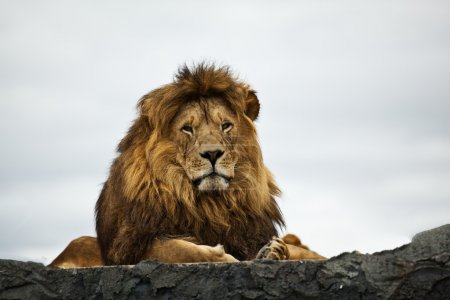 Photo for Lion looking on - Royalty Free Image
