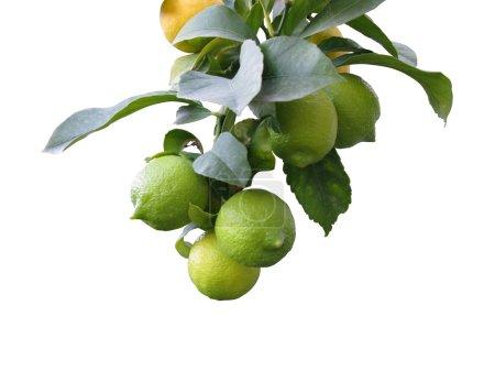 Foto de Rama de árbol de limón - Imagen libre de derechos